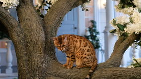 Funny Bengal Cat Resting On Tree Stock Footage