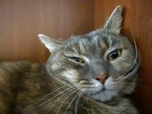 Αστεία εσωτερική γάτα Στοκ Φωτογραφία