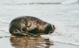Αστεία ζωική χαλάρωση σφραγίδων στην παραλία στη Δανία Στοκ Εικόνες