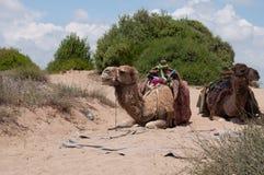 Αστεία καμήλα Στοκ Εικόνες