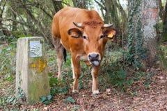 Αστεία καφετιά αγελάδα που κολλά έξω τη γλώσσα του κοντά στον τρόπο Camino de Σαντιάγο του σημαδιού κοχυλιών Αγίου James στοκ φωτογραφίες με δικαίωμα ελεύθερης χρήσης