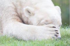 Αστεία κινηματογράφηση σε πρώτο πλάνο ενός polarbear & x28 icebear& x29  Στοκ Φωτογραφία