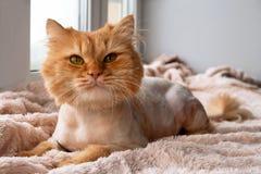 Αστεία μακρυμάλλης γάτα πιπεροριζών που καλλωπίζεται με το κούρεμα στοκ φωτογραφία