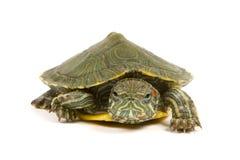 Αστεία πράσινη χελώνα Στοκ φωτογραφία με δικαίωμα ελεύθερης χρήσης