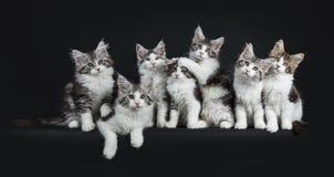 Αστεία σειρά επτά μαύρου τιγρέ παιχνιδιού με την άσπρη γάτα του Μαίην Coons Στοκ Εικόνες