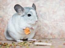 Αστεία τρόφιμα εκμετάλλευσης τσιντσιλά προσώπου εσωτερικά με τα όπλα Στοκ Φωτογραφία