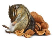 Αστεία υπερκατανάλωση τροφής chipmunk με τα καρύδια Στοκ φωτογραφία με δικαίωμα ελεύθερης χρήσης