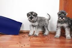 Αστεία φωτογραφία των κακών άτακτων κουταβιών schnauzer Τα σκυλιά άνοιξαν μια τσάντα των ξηρών τροφίμων σκυλιών κλέβουν και τρώγο στοκ φωτογραφίες με δικαίωμα ελεύθερης χρήσης