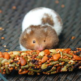 Αστεία χάμστερ που τρώει τα τρόφιμα Στοκ Φωτογραφίες