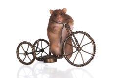Αστεία χάμστερ σε ένα ποδήλατο Στοκ εικόνα με δικαίωμα ελεύθερης χρήσης