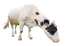 Αστεία χαριτωμένη γραπτή αγελάδα που απομονώνεται στο λευκό Πλήρης olmost άσπρη κατανάλωση αγελάδων μήκους αγροτικό τοπίο ζώων κα Στοκ Φωτογραφίες