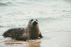 Αστεία χαριτωμένη ζωική χαλάρωση σφραγίδων στην αμμώδη παραλία Στοκ Εικόνα