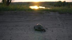Αστεία χελώνα που σέρνεται μέσω του δρόμου και της χλόης σε μια λίμνη στο ηλιοβασίλεμα σε σε αργή κίνηση απόθεμα βίντεο