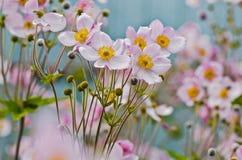 Αστεία anemones Στοκ Εικόνες