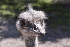 Αστείες συγκινήσεις, telephoto που πυροβολείται στην περίφραξη στρουθοκαμήλων στοκ εικόνες