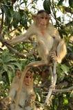 αστείοι πίθηκοι δύο Στοκ Εικόνες