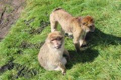αστείοι πίθηκοι Στοκ εικόνες με δικαίωμα ελεύθερης χρήσης