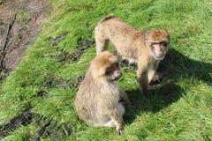 αστείοι πίθηκοι Στοκ Εικόνες