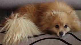 Αστείοι χνουδωτοί ύπνοι Pomeranian στον καναπέ απόθεμα βίντεο