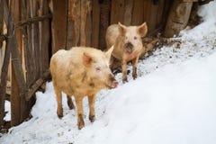 Αστείοι χοίροι σε ένα αγρόκτημα Στοκ Εικόνες