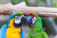 Αστείοι χρωματισμένοι μεγάλοι παπαγάλοι Ara ζευγαριού macaws Στοκ Φωτογραφίες