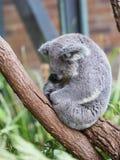 Αστείοι ύπνοι koala, Αυστραλία στοκ φωτογραφίες με δικαίωμα ελεύθερης χρήσης