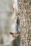 Αστείος λίγος γούνινος σκίουρος που αναρριχείται στο δέντρο με το καρύδι στα δόντια του στοκ εικόνα