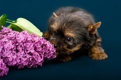 Αστείος λίγο κουτάβι τεριέ του Γιορκσάιρ σκυλιών Στοκ φωτογραφίες με δικαίωμα ελεύθερης χρήσης