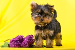 Αστείος λίγο κουτάβι τεριέ του Γιορκσάιρ σκυλιών Στοκ εικόνα με δικαίωμα ελεύθερης χρήσης