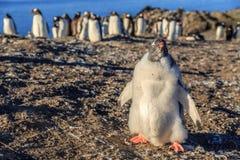 Αστείος γούνινος νεοσσός gentoo penguin που στέκεται στο μέτωπο με floc του στοκ φωτογραφία με δικαίωμα ελεύθερης χρήσης