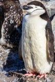 Αστείος γούνινος νεοσσός gentoo penguin που στέκεται στο μέτωπο με floc του στοκ εικόνες