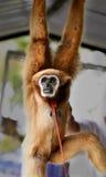Αστείος γούνινος πίθηκος στοκ φωτογραφία με δικαίωμα ελεύθερης χρήσης