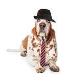Αστείος επιχειρηματίας κυνηγόσκυλων μπασέ Στοκ Φωτογραφία