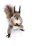 Αστείος κόκκινος σκίουρος με τη χνουδωτή ουρά που στέκεται στο χιόνι και το κοίταγμα Στοκ φωτογραφίες με δικαίωμα ελεύθερης χρήσης