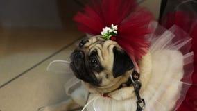 Αστείος μαλαγμένος πηλός fawn στο φανταχτερά φόρεμα και τα εξαρτήματα, μόδα του σκυλιού, κυνοειδής ιματισμός απόθεμα βίντεο