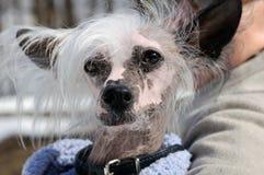Κατοικίδια ζώα. Κατοχή ενός περιπάτου. Αστείος μικρός στενός επάνω σκυλιών. Στοκ Εικόνες
