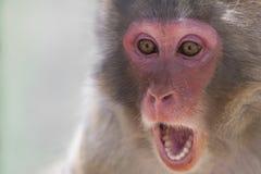 αστείος πίθηκος Στοκ Εικόνες
