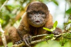 Αστείος πίθηκος Chorongo προσώπου Στοκ Εικόνες