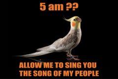 Αστείος παπαγάλος meme, πορτρέτο Cockatiel, 5 AM; , Με επιτρέψτε να σας τραγουδήσω το τραγούδι των ανθρώπων μου δροσίστε memes κα στοκ εικόνα