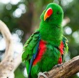 Αστείος πράσινος παπαγάλος Στοκ Φωτογραφίες
