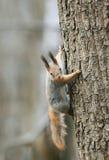 Αστείος σκίουρος που αναρριχείται στο δέντρο με το καρύδι στα δόντια του στοκ εικόνες
