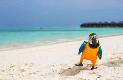 Αστείος φωτεινός ζωηρόχρωμος παπαγάλος στην άσπρη άμμο μέσα Στοκ Φωτογραφία