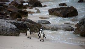 Αστείο αφρικανικό demersus Spheniscus penguin τρία στην παραλία λίθων κοντά στο Καίηπ Τάουν Νότια Αφρική που επιστρέφει από τη θά στοκ εικόνα