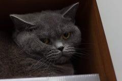 Αστείο βρετανικό τιτίβισμα γατών στοκ φωτογραφίες με δικαίωμα ελεύθερης χρήσης
