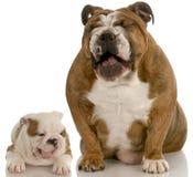 αστείο γέλιο σκυλιών Στοκ Εικόνες