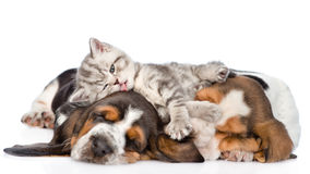 Αστείο γατάκι που βρίσκεται στο κυνηγόσκυλο και τα γλειψίματα μπασέ κουταβιών αυτοί απομονωμένος Στοκ εικόνα με δικαίωμα ελεύθερης χρήσης