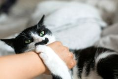 Αστείο γραπτό γατάκι με το χέρι κοριτσιών δαγκωμάτων συγκινήσεων και γρατσουνιές στα μοντέρνα φύλλα Χαριτωμένη γάτα με το δάγκωμα στοκ φωτογραφία με δικαίωμα ελεύθερης χρήσης