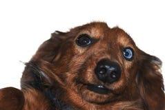 Αστείο επικεφαλής άσπρο υπόβαθρο selfie dachshund στοκ φωτογραφία με δικαίωμα ελεύθερης χρήσης
