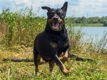 Αστείο ευτυχές σκυλί rottweiler στοκ εικόνες με δικαίωμα ελεύθερης χρήσης