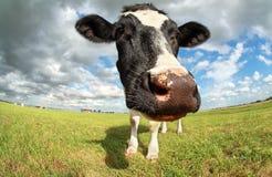 Αστείο κεφάλι αγελάδων μέσω της ευρείας γωνίας Στοκ φωτογραφία με δικαίωμα ελεύθερης χρήσης